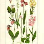 orquideaold